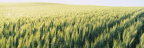 Field Of Barley, Whitman County, Washington State, USA von Panoramic Images