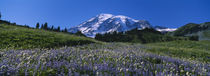 Wildflowers On A Landscape, Mt Rainier National Park, Washington State, USA von Panoramic Images