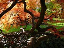 Japanischer Fächerahorn 2 by Almut Rother