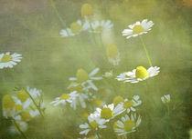 Camomile by Franziska Rullert