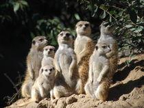 Meerkats striking a pose. von David Love