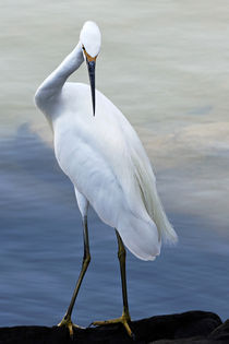 Confronting - Snowy Egret (Egretta thula) by Eye in Hand Gallery