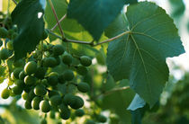 vine grape under the bright sun by Dmytro Tolokonov
