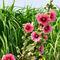 Dsc-0300-hibiskus-malven-af