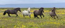 Icelandic Horses von William Lee