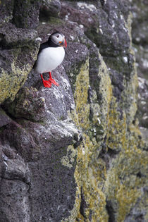 A solitary Atlantic Puffin in Iceland von William Lee