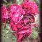Rose-copy-edited-1