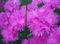 Floral-fortunes-dream-flutter-by-theyoungspaniard