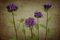 Knäuelglockenblume von lolly