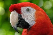 Scarlet Macaw (Ara macao) von Howard Cheek