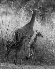 """I Will Follow You"" (Whitetail doe & fawns) by Howard Cheek"