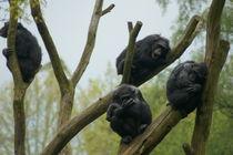 Schimpansengruppe auf Bäumen von Daniel Zschuckelt