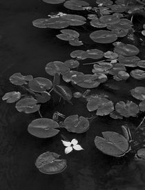 Lily... by Riza Aydan  Turak