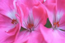 Pink1 by Riza Aydan  Turak