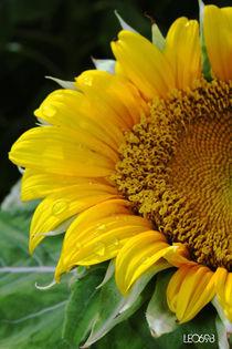 Sunflower-3-copy