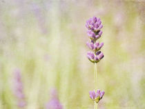 summer with lavender by Franziska Rullert