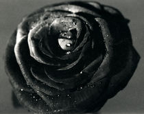 black rose by Dmytro Tolokonov