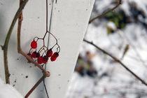 berries by Sara Kennedy