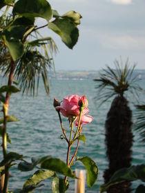 Rose am Bodensee von Ka Wegner