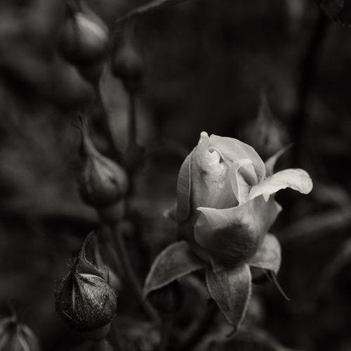 Af-rose-1-01407-28