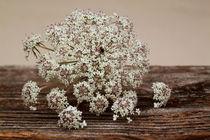 Wilde Möhre-Daucus carot von blickpunkte