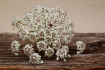 Wilde Möhre-Daucus carot by blickpunkte