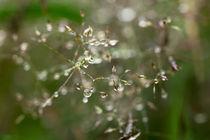Blüten mit Wassertropfen by dresdner