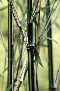 Bambus by Susann Mielke