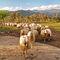 Pecore-sardegna-af