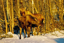Moose in the Morning von Juergen Weiss