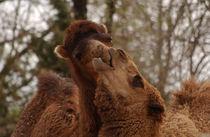 Lovin-camels-louiszoo-2197