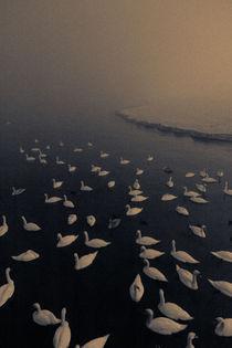 Winter swans by Konrad Sarnowski