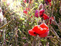 Sunlit-poppy