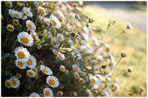 Marguerites by Jonathan Guillou