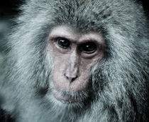 snow monkey von yudasmoro
