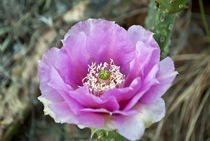 Cactus Flower by Shed Simas