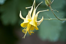Golden Columbine by Shed Simas