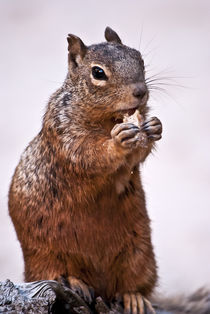 Portrait of a Squirrel by Shed Simas