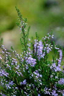Die Heide blüht von Irmtraut Prien