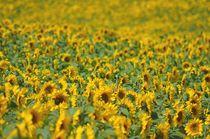 Sonnenblumenfeld by Irmtraut Prien
