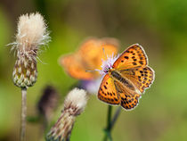 Scarce Copper Butterfly by Stefan Nielsen