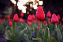 Sunset Tulips by BALAZS FEHER