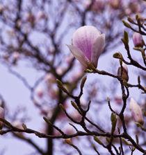 Magnolia spring I by Pia Jensen