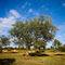Olivenbaum-3-kroatien