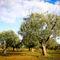 Olivenbaum-5-kroatien