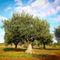 Olivenbaum-7-kroatien