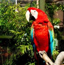 Scarlet Macaw I von Tasmin Jade