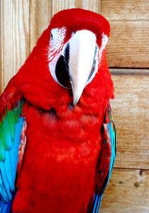 Scarlet Macaw II von Tasmin Jade