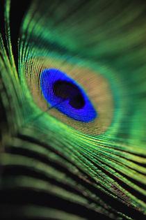 peacock feathers von Falko Follert