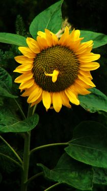 Sunflower by theresa-digitalkunst
